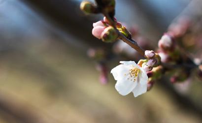 桜の写真1