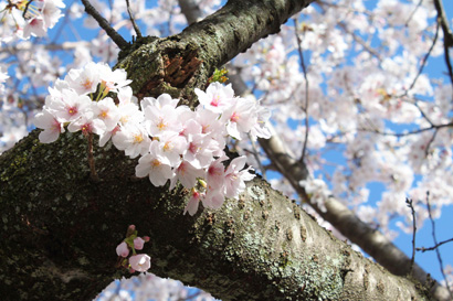 桜の写真3
